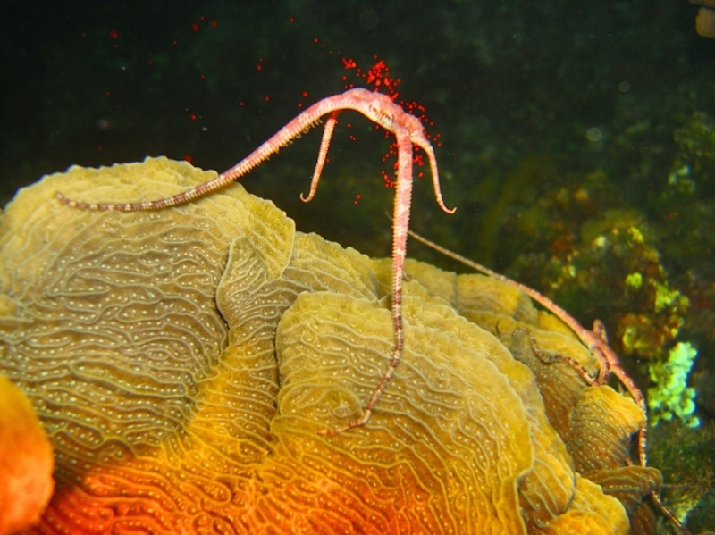 Brittle Star releasing eggs by Manu Bustelo for SEVENSEAS Media
