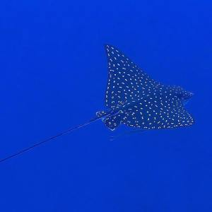Spotted Eagle Ray by Manu Bustelo for SEVENSEAS Media
