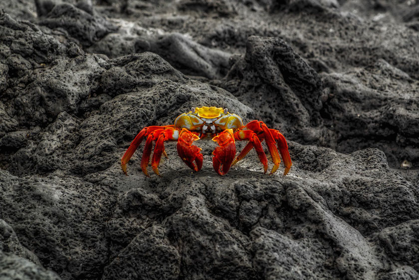 Simone Sbaraglia - Sally Lightfoot Crab