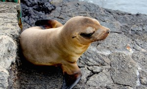 Sea lion, Isabella Island.
