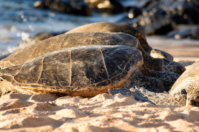 sea turtle on the beach in maui by Maui Jeff Beige