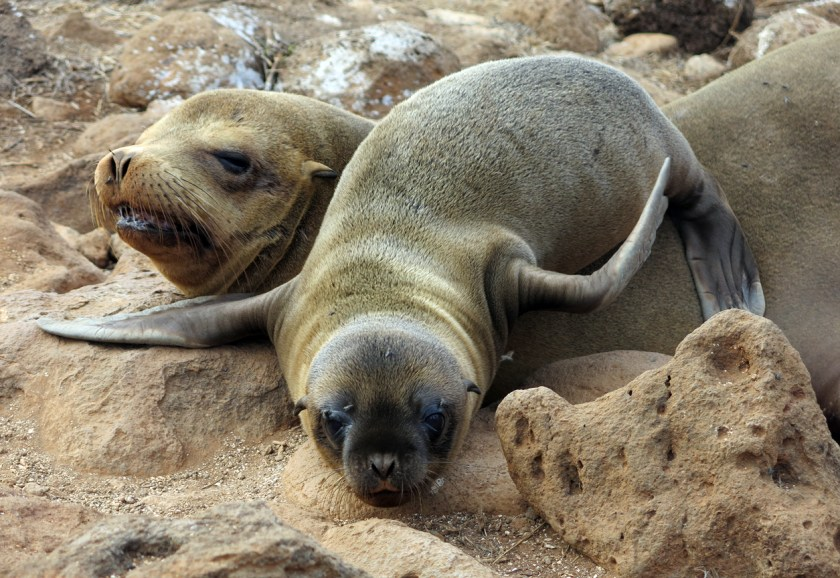 A mother Galapagos Sea Lion and her pup rest ashore for a spell.