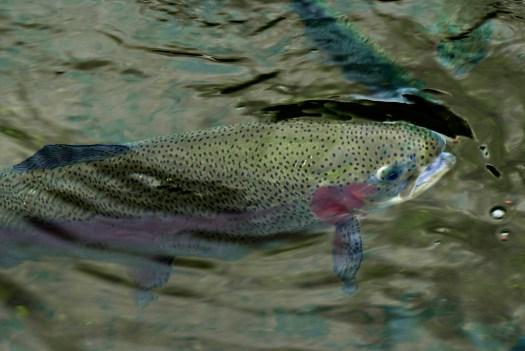 trout rainbow