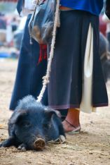 Pig on a string, Otavalo