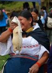 Guinea pig for sale, Otavalo