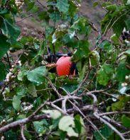 Ruby-throated magnificent frigate bird, Ecuador