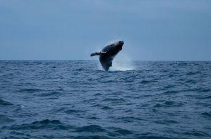 Humpback whale breaching, Ecuador