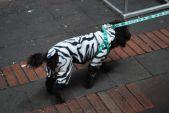 Dog in a onesie, Quito