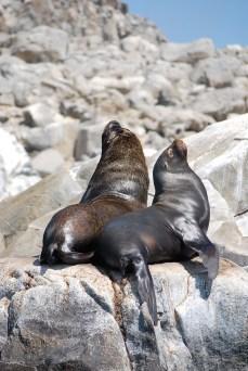 Sea lions, Pan de Azucar, Chile
