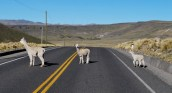 Alpacas crossing, Peru.