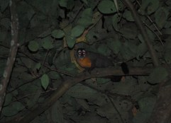 Night monkey, Bolivian jungle
