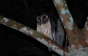 Owl, Bolivian jungle