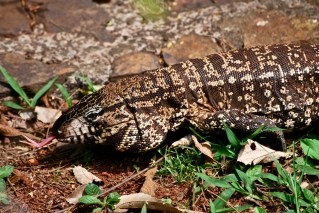 Lizard, Iguazu Falls