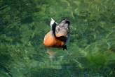 Ashy-headed goose, Lago Nahuel Huapi, Argentina.