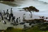 Penguins, Chiloé