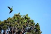 Parakeets, Parque Nacional Chiloé