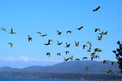 Parakeets, Chiloé