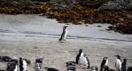 Busy penguin, Chiloé