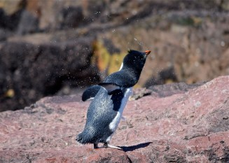 Penguin shake-off