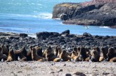 Sea lions, Penguin Island