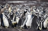 Penguin colony, Puerto Deseado