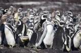 Penguin colony, Puerto Deseado