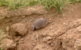 We saw a couple of armadillos on the route - this one scurried off to the side of the road.