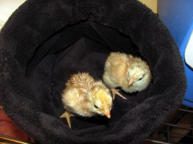 Two New Hampshire hatchlings headed for the brooder.