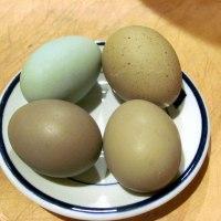 Olive eggs at last