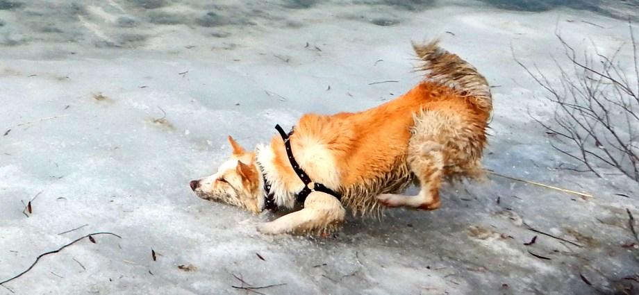 Kış Kazası Değil, Pati Tarzı Buz Dansı! Tamam, top yakalamaya çalışırken, ayağım kaymış da olabilir :-( Onu boşverin, köpeklerin buzda ve karda eğlenceli videolarını izleyin. http://sevgilikopegim.com/2015/01/29/kis-kazalari-mi/