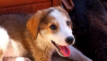 Barınak Köpeklerinin Yüzünü Güldüren Çalışma Hayvan Davranış Uzmanı Patricia Simonet'in köpek gülüşü üzerine yaptığı araştırma, köpeklerin yüzünü güldürdü. Simonet'in araştırması kahkaha sesini dinleyen köpeklerde stresten kaynaklı davranışların azaldığını ortaya koydu. http://sevgilikopegim.com/2015/02/04/barinak-kopeklerinin-yuzunu-gulduren-arastirma/