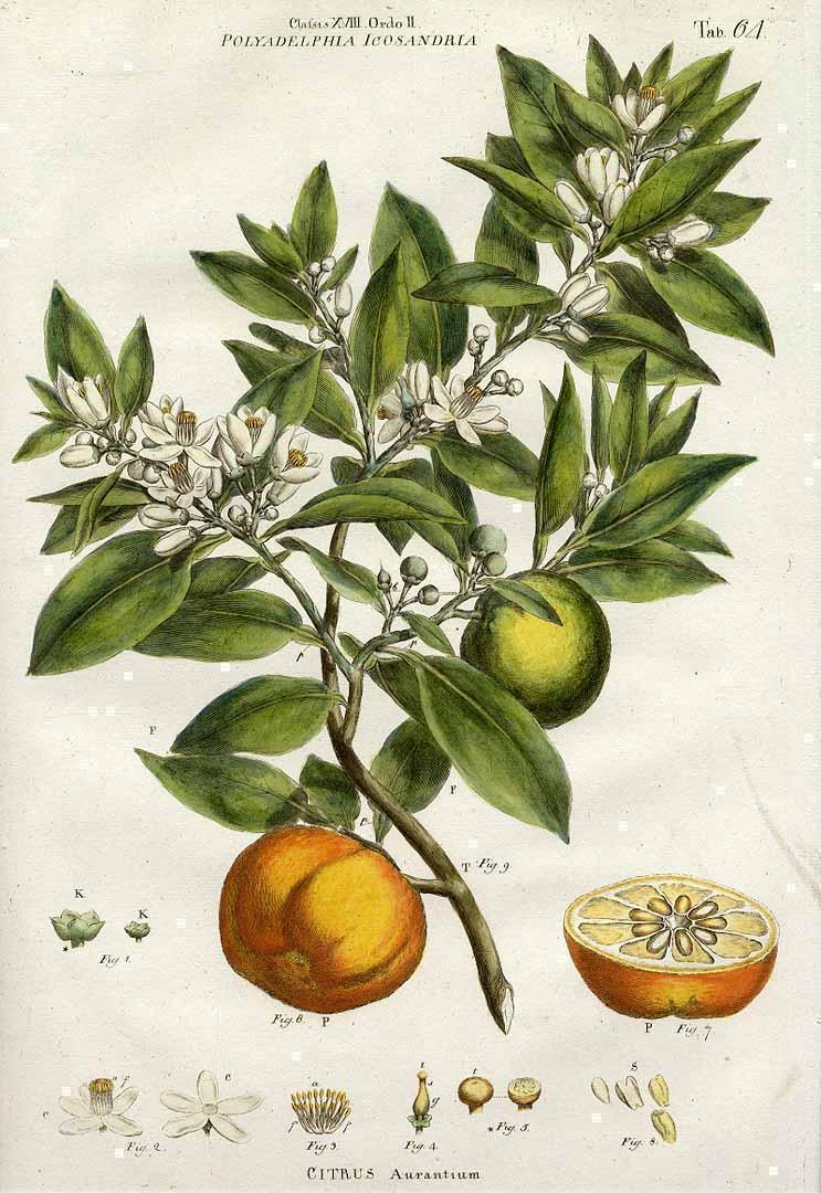 Citrus aurantium J Miller 1770 seville orange