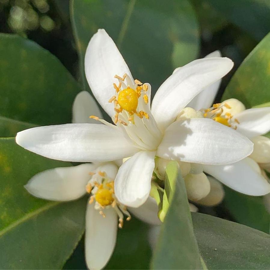 Ave Maria Farm blossoms