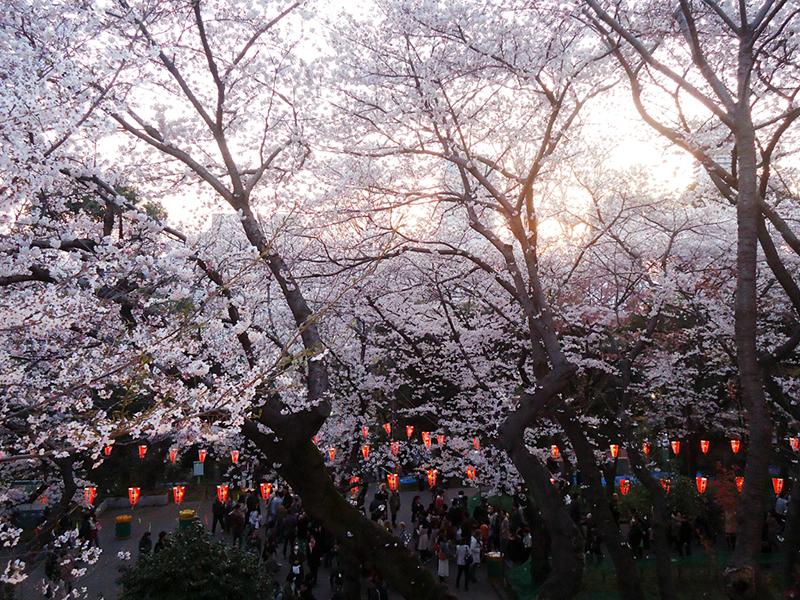 deck do templo vendo as cerejeiras
