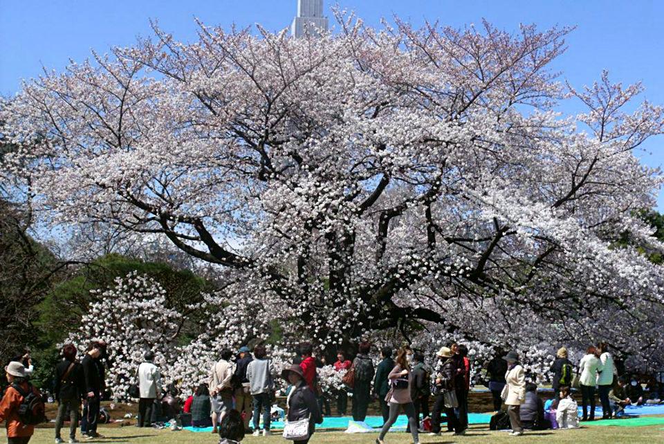 sakura no Shinjuku Gyoen Park