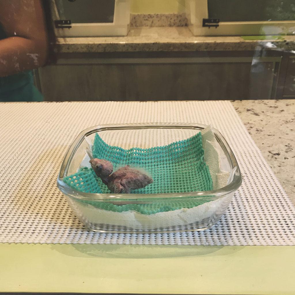 filhote-periquito-tiriba-de-barriga-vermelha