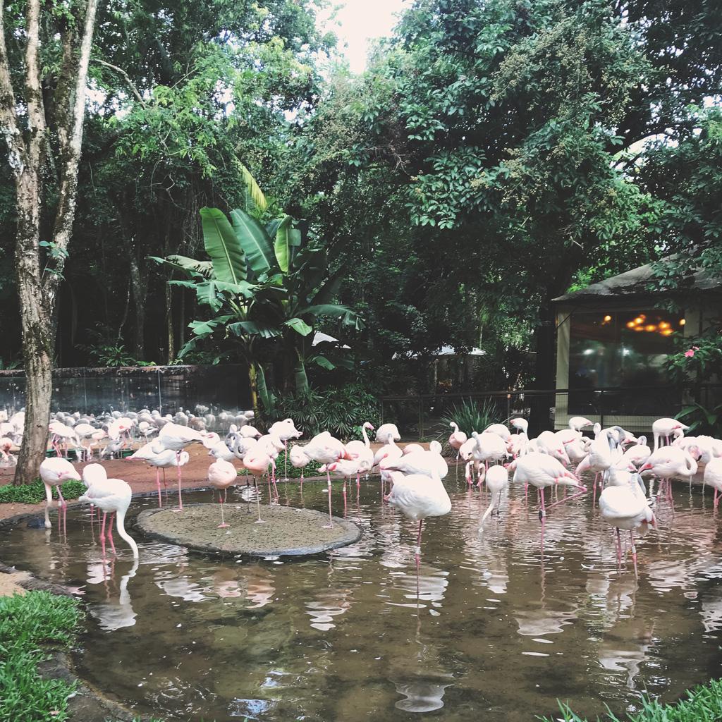 Familia-de-flamingos-chilenos