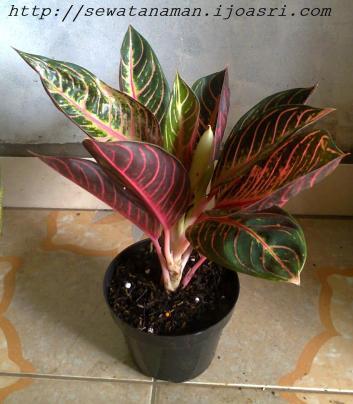 tableplantfredsumatra