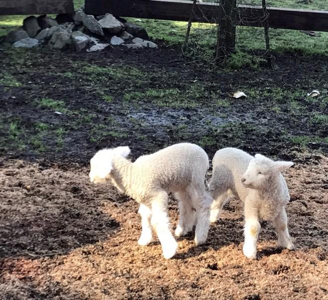 white lambs