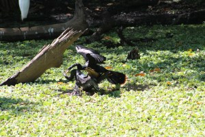 Anhingas fighting at Corkscrew Swamp Sanctuary