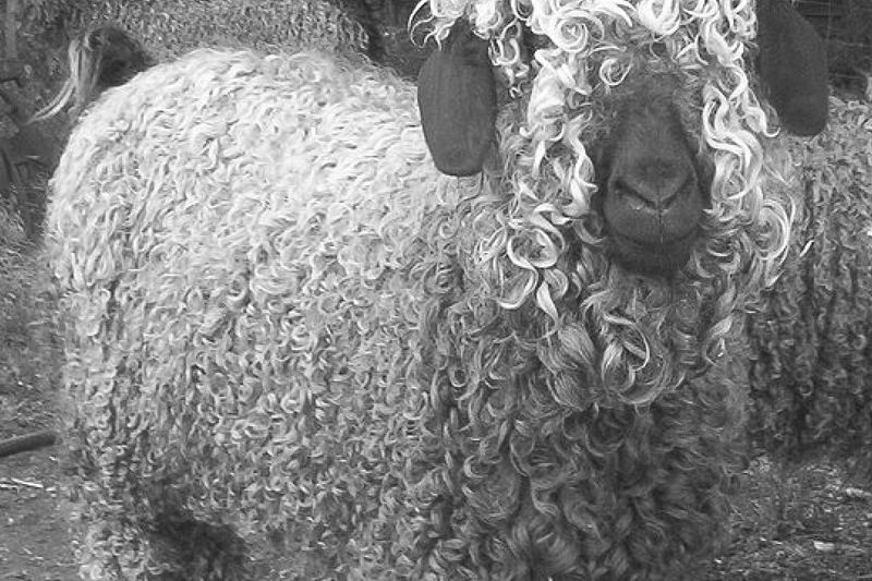 Splitting hairs | How sustainable are cashmere, angora or mohair?