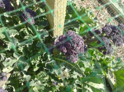 Purple Sprouting Broccoli March 2014