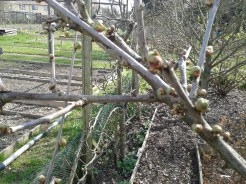 Cherry Tree buds about to burst