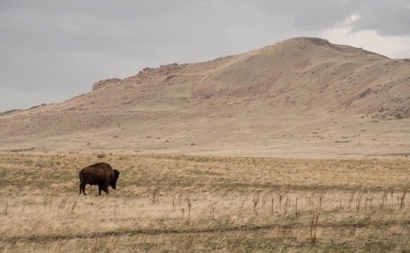 Sacrificing Minutes – Antelope Island Buffalo Run 100