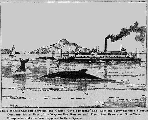 William Coulter was a maritime artist who also drew for the local press. This 1896 image depicts three whales inside the bay near a Sausalito-bound ferry.