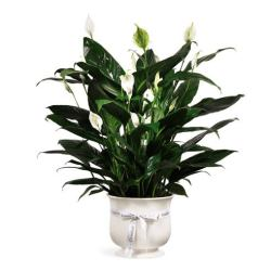 Plant delivery and lush green plant for same day delivery