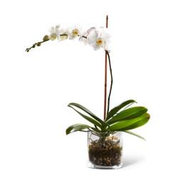 White orchid plant delivery for cheap flower delivery