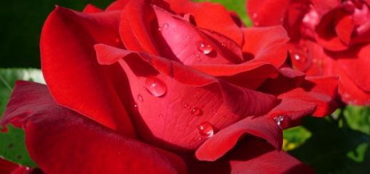 Apa-de-trandafiri-Magia-din-gradina-noastra