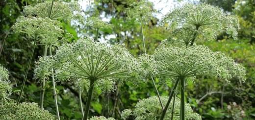 angelica-planta-medicinala