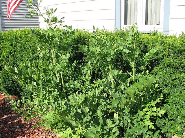 cum-se-cultiva-leusteanul